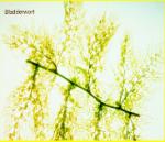 bladderwort.png